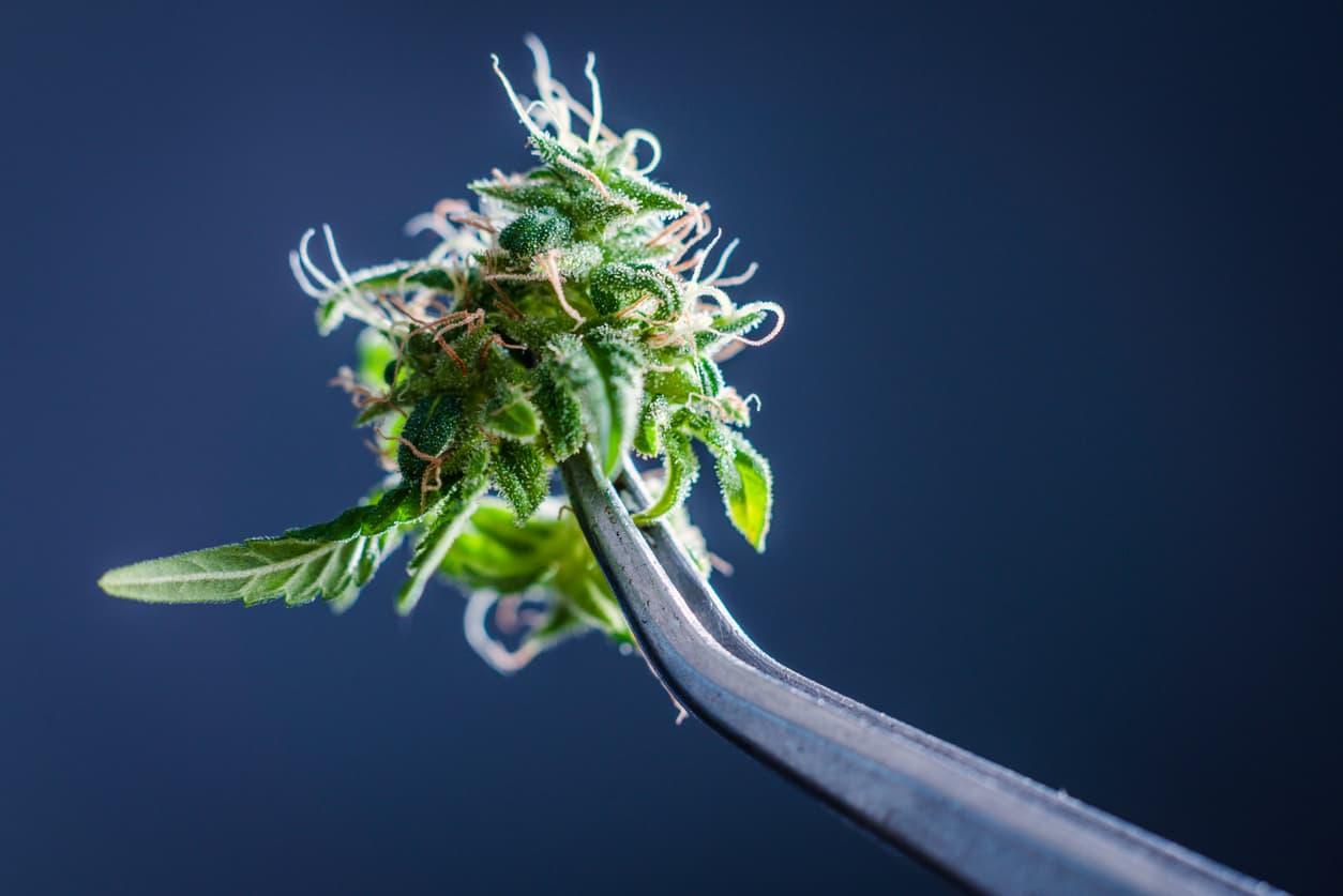 Can Recreational Marijuana be Legalized in Florida?